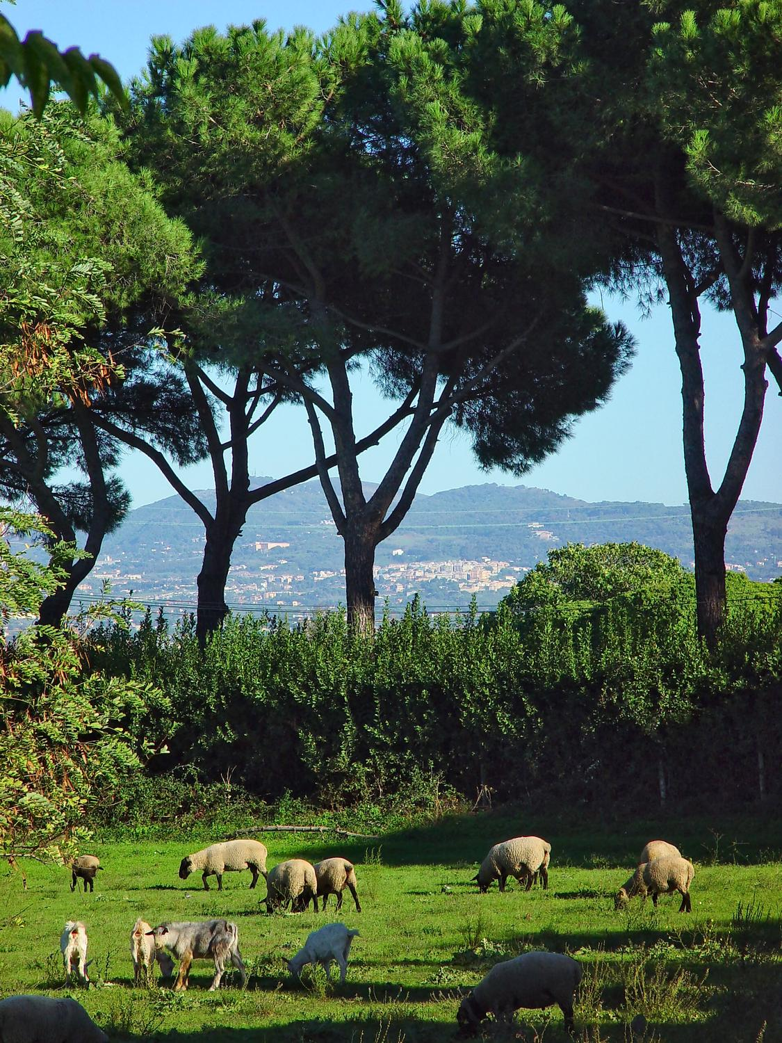 - Sheep in Rome? Yup. We saw this little farm along the Via Appia Antica. Note the characteristic umbrella shape of the stone pine trees in the background. - - Italian Stone Pine Tree - Umbrella Pine - Pinus Pinea - - - art  - photography - by Tony Karp