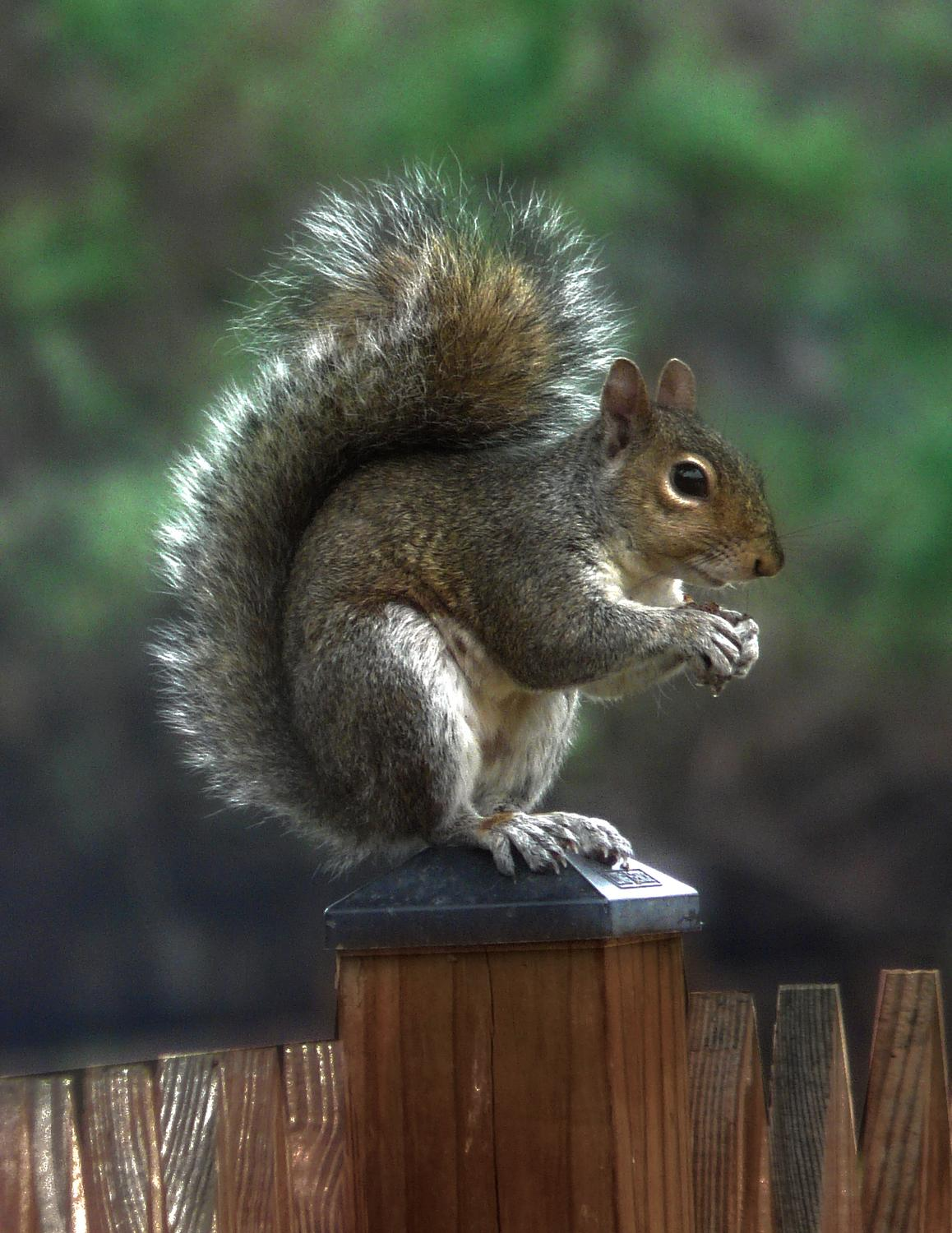 Mr. Squirrel final picture - This is my favorite - Panasonic DMC-FZ18 - Tony Karp, design, art, photography, techno-impressionist, techno-impressionism, aerial photography , drone , drones , dji , mavic pro , video , 3D printing - Books -