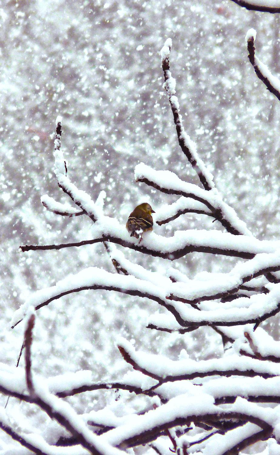 -  Panasonic DMC-FZ18 - Another small bird in a snowy tree. - - art  - photography - by Tony Karp