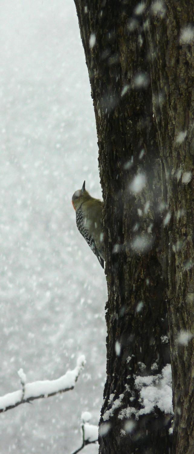 -  Panasonic DMC-FZ18 - Mr. Woodpecker climbs a snowy tree. - - art  - photography - by Tony Karp