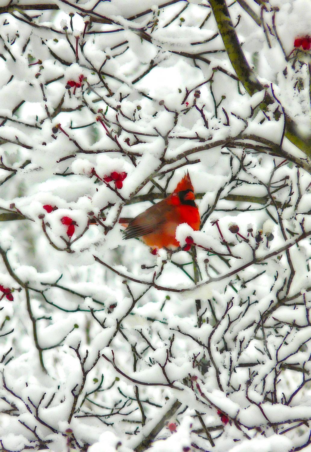 cardinal all puffed up in a snowy tree-  Panasonic DMC-FZ18 - Mr. Cardinal, all puffed up, trying to stay warm. - - art  - photography - by Tony Karp