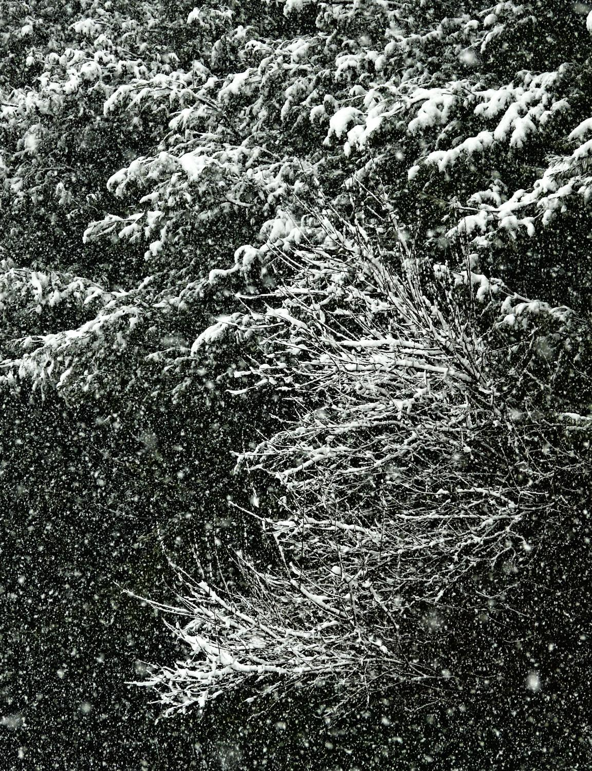 snow on branches of a pine tree-  Panasonic DMC-FZ18 - Still snowing. When will it stop? - - art  - photography - by Tony Karp
