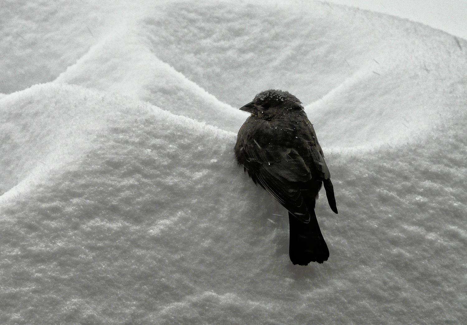 -  Panasonic DMC-FZ18 - Bird on a snow drift. - - art  - photography - by Tony Karp