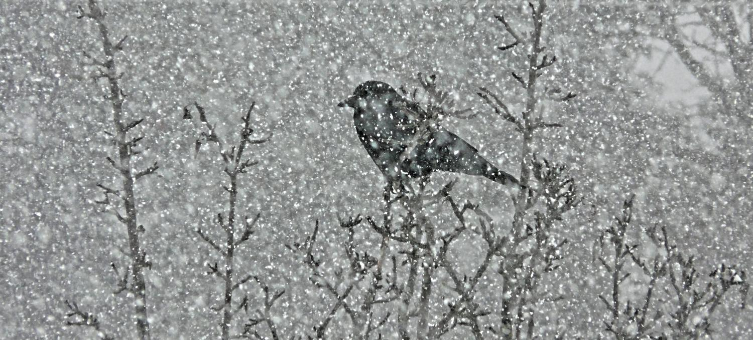 -  Panasonic DMC-FZ18 - Mr. crow in a snowy tree. - - art  - photography - by Tony Karp