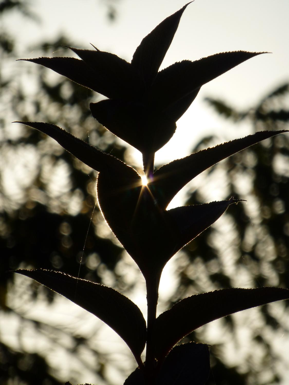 - Sun sparkle through a plant <br>--- Click to see ORIGINAL --- - Panasonic DMC-ZS20 - Tony Karp, design, art, photography, techno-impressionist, techno-impressionism, aerial photography , drone , drones , dji , mavic pro , video , 3D printing - Books -