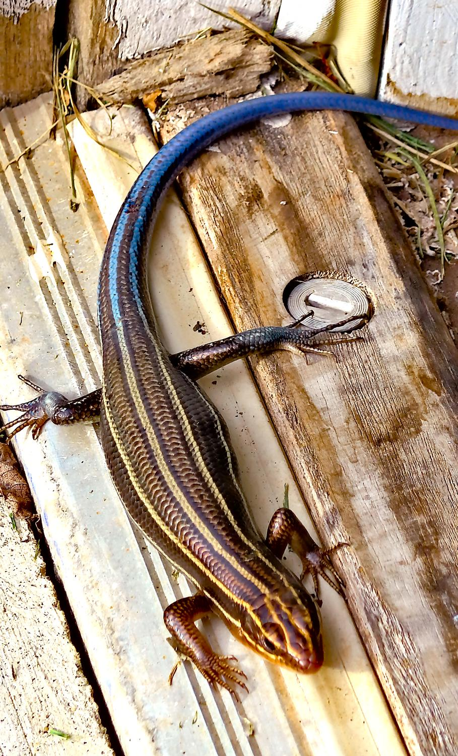 Panasonic DMC-LF1 - A skink by the garage. This one has a blue tail,<br> meaning it's still in its youth. - Leica C (typ 112) - Panasonic DMC-LF1 - five-lined skink - - - art  - photography - by Tony Karp
